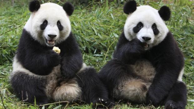 Deux pandas papotent de faim et d'œufs.