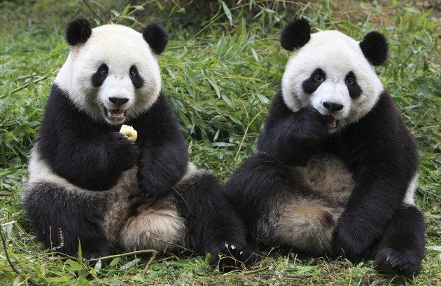 Deux Pandas